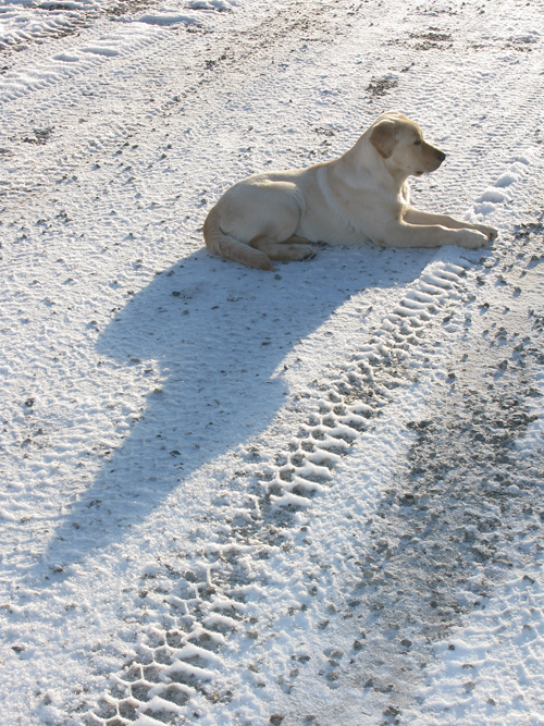 dog on snowy road, Kasaan, Alaska