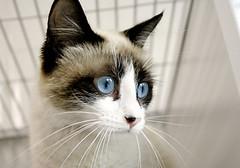 Gatinha (JOSELITO MIRANDA) Tags: brazil pet azul brasil cat olhar gatos gato bigode gata felino beleza animais americadosul orelha joselito mamferos olhosazuis
