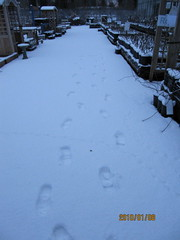 I give up ... (wallygrom) Tags: winter england snow ice westsussex footprints eastpreston birdtracks angmering january2010 manornursery