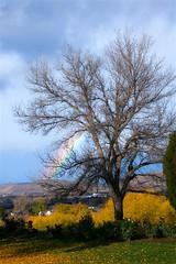 Rainbow in a tree (littlebiddle) Tags: tree nature washington rainbow yakima scenicsnotjustlandscapes
