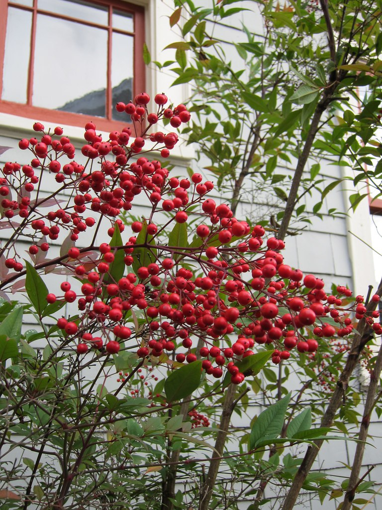 Nandina domestica berries in January