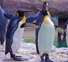 Dancing King Penguins (aeschylus18917) Tags: bird nature japan zoo penguin tokyo nikon wildlife aves   80400mm uenozoo nkon kingpenguin aptenodytespatagonicus 80400mmf4556dvr aptenodytes sphenisciformes spheniscidae  d700 80400mmf4556vr onshiuenodbutsuen nikond700 danielruyle aeschylus18917 danruyle druyle