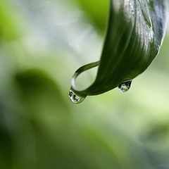 Perhaps we all need a drop or two .... (Ingrid Douglas Images - ART in Photography) Tags: macro droplets bokeh raindrops greenongreen bokehlicious ingridinoz perfectoartsdreamcaptures leafandrain