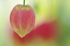 Abutilon megapotamicum / ウキツリボク (Yoichi_) Tags: flowers red green japan geotagged nikon bokeh greenhouse abutilon shizuoka shimoda d300 静岡 ウキツリボク チロリアンランプ アブチロン 温室 megapotamicum flowersmacroworld tsumekizaki geo:lon=138983048 爪木崎花園下田 geo:lat=34660627