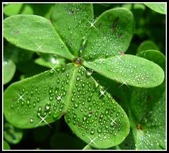 Trifoglio Sbrilluccicante (valewatta) Tags: sardegna verde green nature foglie nikon sardinia natura gif luci acqua rugiada giardino mattino gocce trifoglio clorofilla portotorres bagliori sbrilluccichio valewatta
