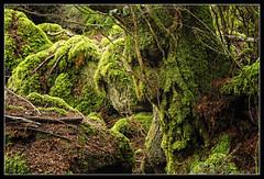 Barbalbero - Beardtree - Brbol - Sylvebarbe - Baumbart (Luigi Mancini) Tags: wood trees naturaleza tree musgo verde green nature face alberi forest beard woods gesicht rboles natureza