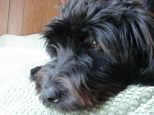 Pictures Of Schnoodle Haircuts | blackhairstylecuts.com
