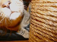 flashy nose (18) (salvagekat) Tags: home cat nose kitten flash teak scratchingpost jute yip2010 2010yip
