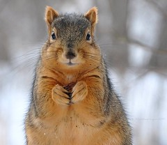 if I keep perfectly still, the human will walk away (christiaan_25) Tags: winter brown snow cold face nose grey rodent still eyes furry hands squirrel fuzzy ngc january ears whiskers npc nut paws staring easterngraysquirrel moutch lifetnc10
