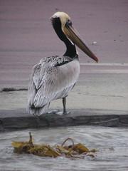 pelican 3 (tiehmei) Tags: pelican pfeifferbeach