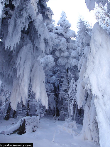 Evergreen Trees in Snow