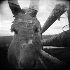 do ponies dream of electric ponies? ((Tom)) Tags: uk blackandwhite bw horse guy 120 monochrome race square diy holga lomo doubleexposure hell pony diafine hp5 endurance tough stable staffordshire vignette ilford 2010 hellonearth pushedto800