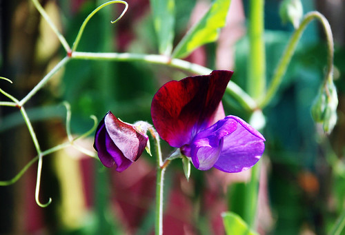 Sweet pea flower from Meghalaya