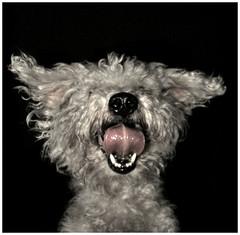 Perro que salta no muerde (Guilleflash) Tags: toy chocolate perro lengua mascota salta pelos caniche saltarin perroquesaltanomuerde seguroqueestaalzado comoestecaso