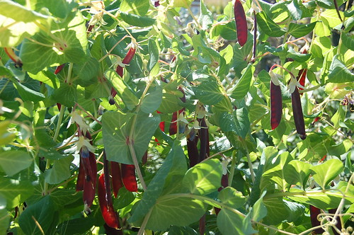 Red-podded pea F3