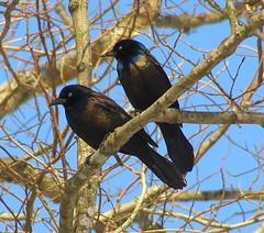 iridescent black birds (Sily) Tags: black birds iridescent