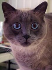 surprised Kitty (Jeidyn) Tags: blue pets animals cat blueeyes kitty siamese yang surprise himalayan catface kittah sumokittah
