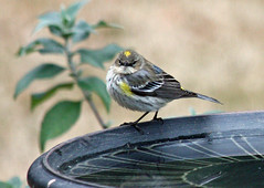 The Great Backyard Bird Count: Yellow-rumped Warbler (skyliner72) Tags: bird nature wildlife birding warbler coronata greatbackyardbirdcount gbbc birdcount warblerdendroica yeloowrumped