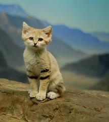 [フリー画像] [動物写真] [哺乳類] [ネコ科] [猫/ネコ] [子猫] [スナネコ]     [フリー素材]