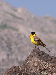 Black Headed Bunting (Mehdi Kavousian) Tags: bird iran damavand  blackheadedbunting emberizamelanocephala damavandmount laardam