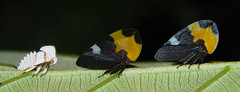 Parents and off-spring (Arthur Anker) Tags: park macro nature ecuador amazon rainforest national treehopper hemiptera auchenorrhyncha membracidae yasuni treehoppers membracid