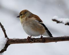 American Goldfinch (Billtacular) Tags: winter snow bird nature outdoors newjersey wildlife birding nj blizzard birdwatching northbrunswick thewonderfulworldofbirds