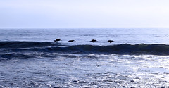Pelicans (Bosquet) Tags: ocean blue sea sky cold color beach pelicans wet water birds digital photography mar fly flying photo surf waves break image patterns tide assignment shapes monochromatic crest dslr 80 rosarito olas marea d80 dichromatic nikond80