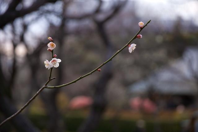 早春梅の花