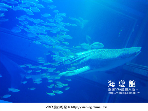 【via關西冬遊記】世界最大極的水族館~大阪海遊館16