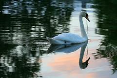 Graceful Grazing (withUibelong) Tags: sunset lake reflection bird sol grass swim swan eat cielo silverlake nube puestadelsol belmarnj withuibelong