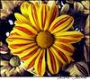 . Chrysanthemum (Juliana Coutinho) Tags: red brazil flower nature yellow brasil riodejaneiro sony natureza flor days vermelho amarelo 365 juliana chrysanthemum asteraceae 2010 coutinho compositae crisântemo 365days sunsetflower ngmmemuda julianacoutinho flordeouro