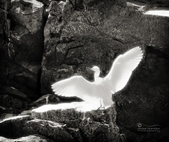 Phoenix Rising... (SonOfJordan) Tags: light shadow bw sun bird nature phoenix rock stone canon eos rising fly big wings glow wide egypt nile span xsi 450d samawi sonofjordan wwwshadisamawicom
