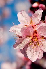 Otra flor de almendro... (Luisma Rubio photo) Tags: flowers flores macro photo spain plantas flor otras campos castellon almendro alcaladexivert alcossebre lmrp luismarubio