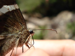 Butterfly on my finger (Andr [oo]<) Tags: macro nature butterfly insect finger mywinners excapture