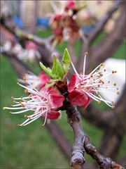 Budding Blenheim Apricot