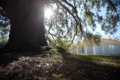 moss [[oak]menil]