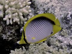 Pez Mariposa de Espalda Negra (Chaetodon Melannotus) (FRosselot) Tags: redsea scubadiving buceo marrojo
