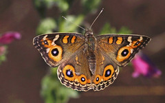 Meadow Argus : Morning Flight (Clement Tang ** busy **) Tags: morning autumn nature closeup butterfly insect inflight ngc australia victoria lepidoptera nationalgeographic macrophotography insecta closetonature westerfoldspark specinsect meadowargus junoniavillida concordians
