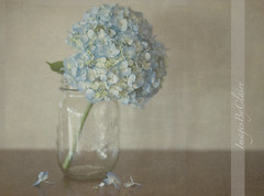 Petals of blue.... (ImagesByClaire) Tags: blue stilllife 50mm petals soft depthoffield masonjar dreamy hydrangea bluemonday project365 explored florabellatextures loveofcolorweek stilltryingtocatchuponmy365 justonedaybehindyeeha