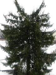 Drevo Smreka