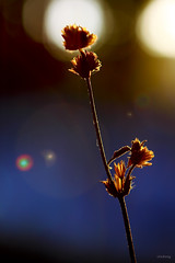 Fading (-clicking-) Tags: lighting flowers light sunlight macro nature floral grass sunshine glow dof natural bokeh fade fading discolor backlighting