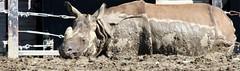 rhino lay down (nereis*01*) Tags: ontario animal animals closeup mammal zoo mud belly underside rhino rhinos horn mammals muddy rhinoceros folds torontozoo whiterhino zooanimals whiterhinoceros mudbath largemammals hornedmammals undersideofrhino rhinocerosbelly