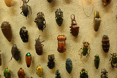 Beetle Mania (The Cleveland Kid) Tags: ohio orange history cars nature car museum vw bug insect interestingness interesting natural exploring cleveland beetle insects exhibit bugs beatles naturalhistorymuseum thebeatles beatlemania