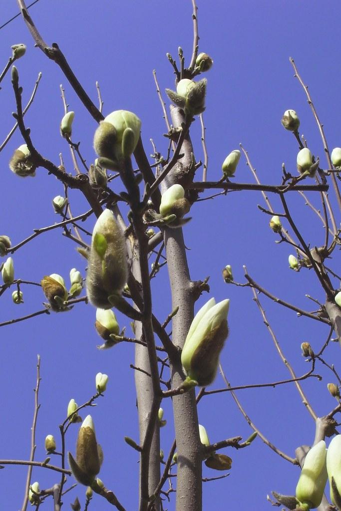 Lily Magnolia Bud