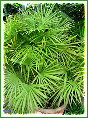 Rhapis excelsa (Lady Palm), a miniature variety with smaller and slender palmate leaves