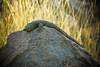 #1, Dabb lizard relaxing, ضب الهروج الأسود (منصور الصغير) Tags: africa mountain me al north central east middle libya الله ام lybia libyan محمد libia على منصور aswad ليبيا خلف الصغير الحاج المصور عبدالحميد الأسود الجمل غدير البقر وادى أعلام علياء قبو قرعة قارة الليبى اليبي الهاروج السبعة الهروج alharuj dabblizardrelaxing ضبالهروجالأسود شليمة الجدارى غديرالسبعة المشقق الدحى القور وقارة الهيفوف وبوالحيضان الفوتغرافى