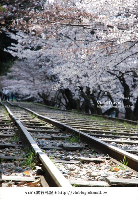 【via京都賞櫻行】鐵道上的櫻花美景~蹴上鐵道15
