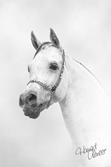 Amer Alzain (Hamad Al-meer) Tags: horse art animal canon eos design retouch effect hamad amer 30d       almeer  alzain       hamadhd hamadhdcom wwwhamadhdcom