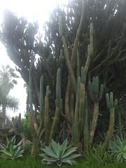 San Pedro Cactus in Lima, Peru