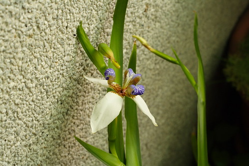 巴西鳶尾花